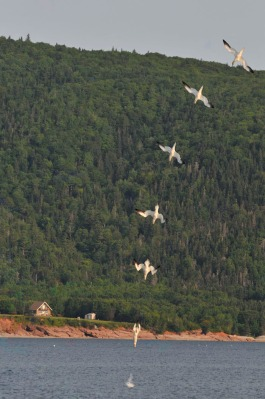 The Northern Gannet dive bombing a fish outside St. Ann's Bay, Cape Breton