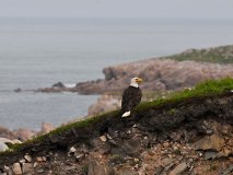 Bald Eagle at White Point.
