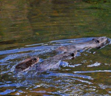 Beavers in Petites