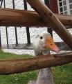 Goose at Louisbourg.